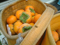只今、西村早生柿の収穫中。_f0018099_8322693.jpg