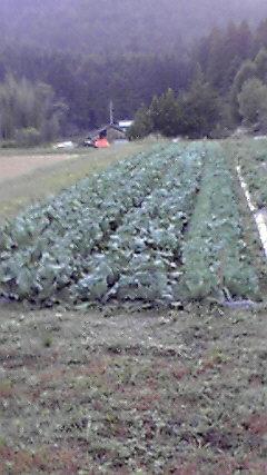 もうすぐ収穫_f0073301_1128391.jpg