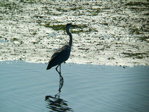 谷津干潟にいた鳥たち その7(アオサギ)_e0089232_14384367.jpg