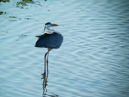 谷津干潟にいた鳥たち その7(アオサギ)_e0089232_14385145.jpg