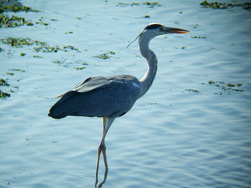 谷津干潟にいた鳥たち その7(アオサギ)_e0089232_1439020.jpg