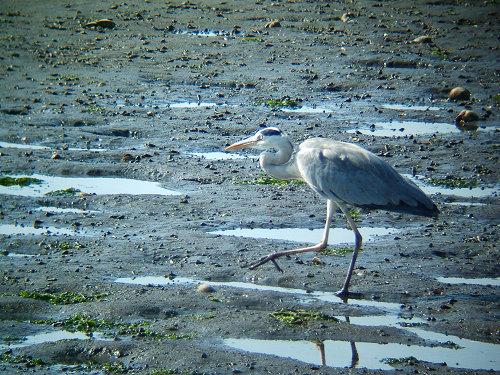 谷津干潟にいた鳥たち その7(アオサギ)_e0089232_14391442.jpg