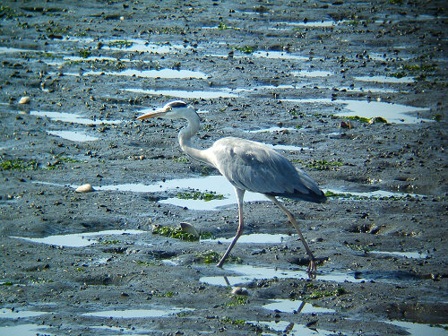 谷津干潟にいた鳥たち その7(アオサギ)_e0089232_1439734.jpg