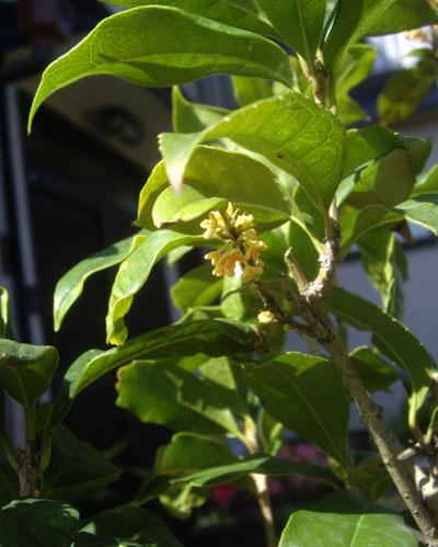 金木犀が咲いたよ♪_a0136293_1714451.jpg