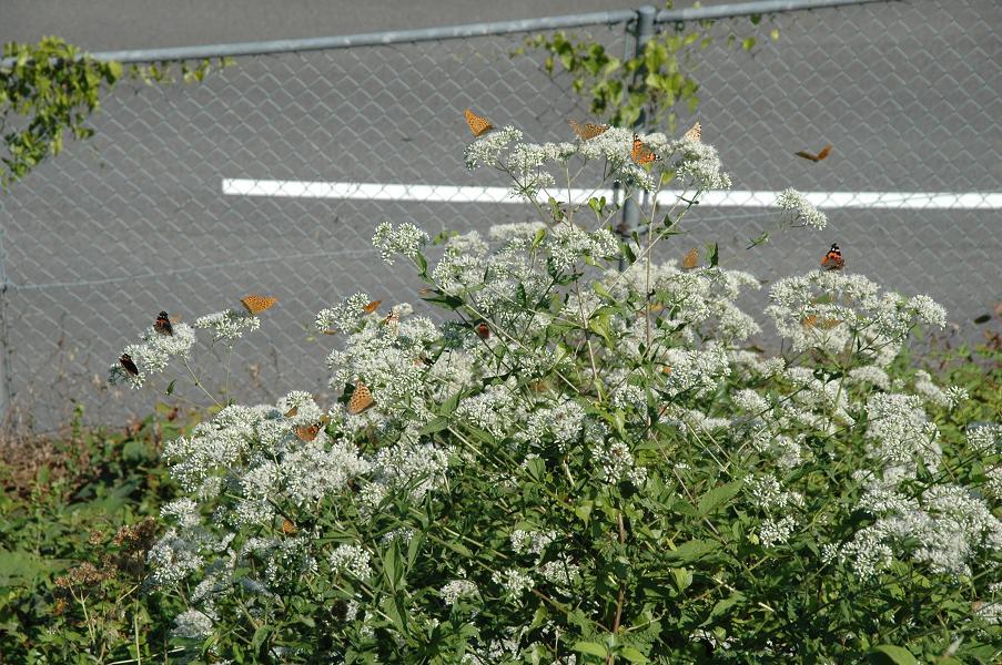 蝶の楽園(蝶の成る木?)(^o^)丿驚きです。_e0194952_167591.jpg