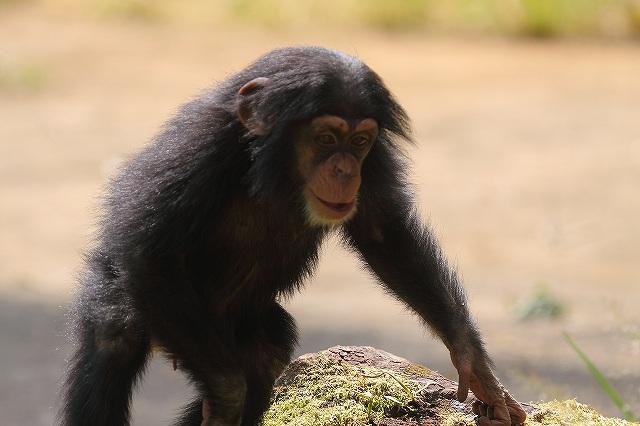 チンパンジー_f0044056_1537181.jpg