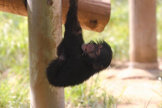 チンパンジー_f0044056_15373079.jpg