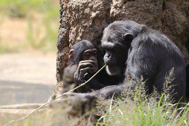 チンパンジー_f0044056_15375589.jpg