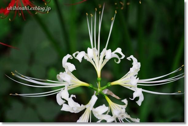 巾着田の 白い曼珠沙華_f0179404_2120120.jpg