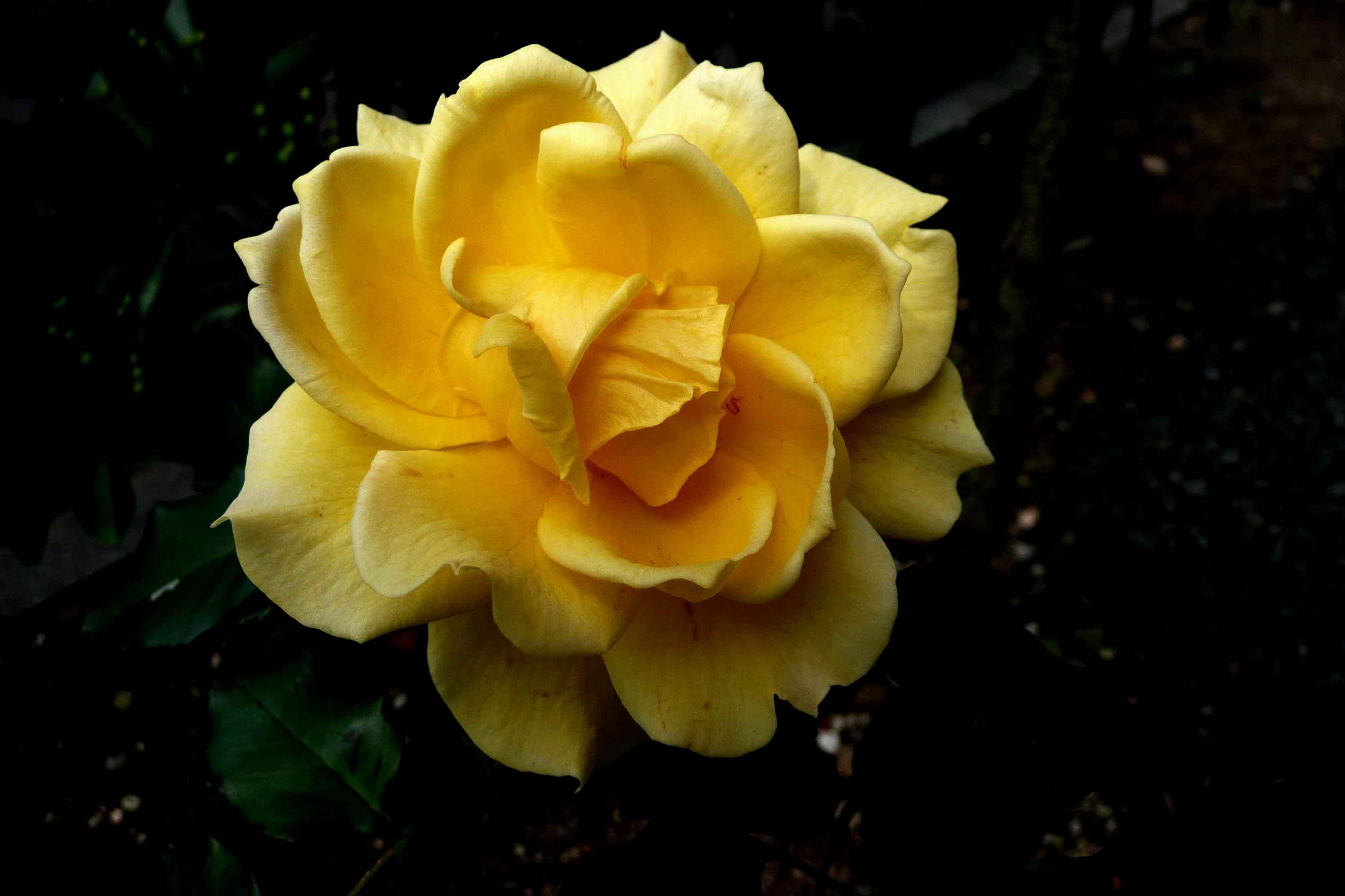 薔薇 「ゴールドバニー」_f0150893_1826416.jpg