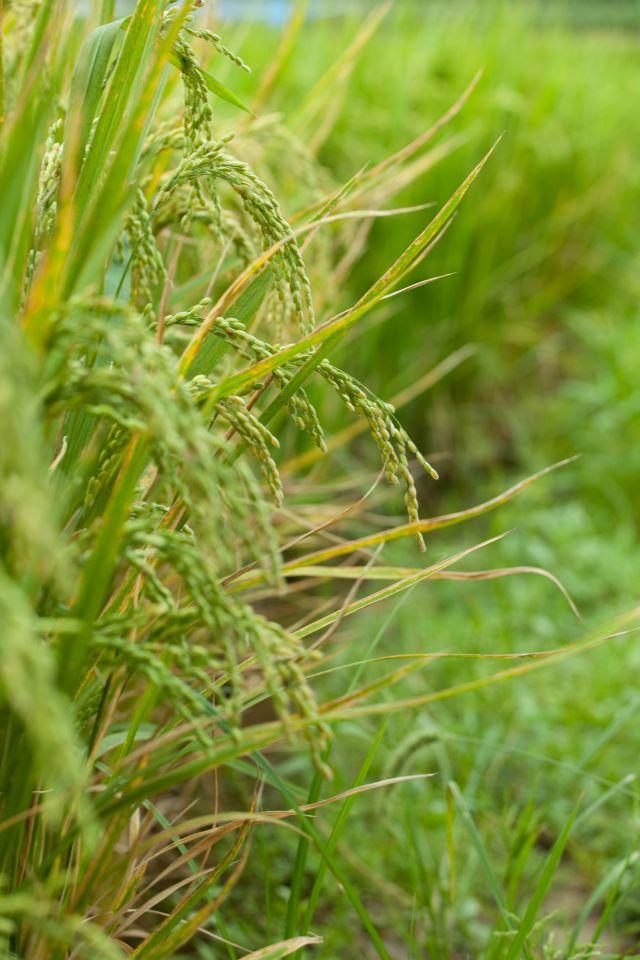 農畜産業における遺伝子組み換えは裁判で決着しない_c0025115_19484071.jpg