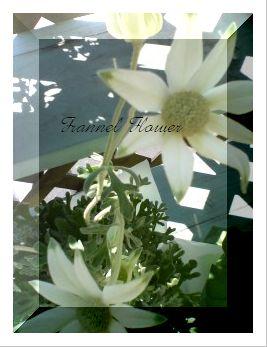 お花を買いました~フランネルフラワー~_f0149716_0143769.jpg