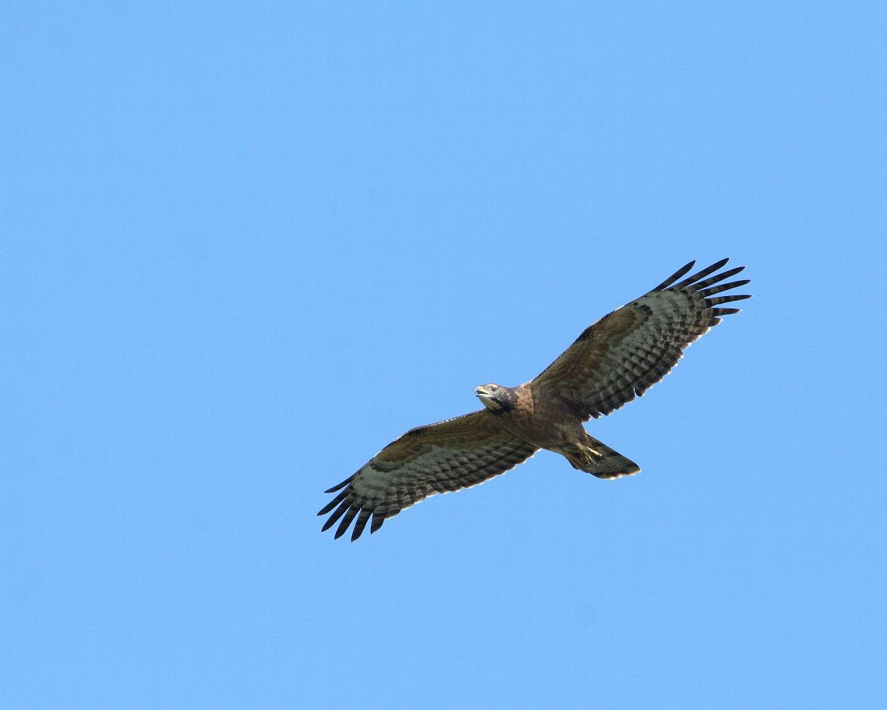 伊良湖の猛禽たち_f0105570_2242497.jpg