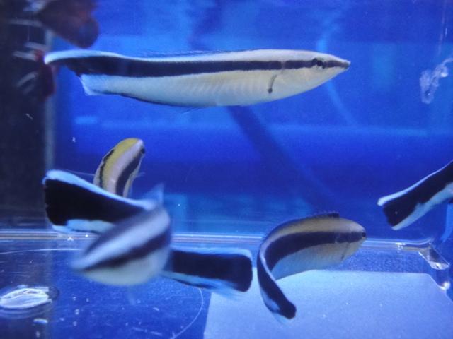 海水魚・水草・日本産淡水魚_f0189122_13123653.jpg