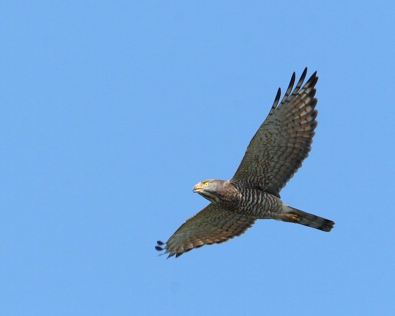伊良湖の猛禽たち_f0105570_2282590.jpg