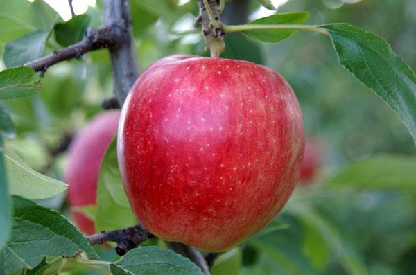 実りの秋。弘前市りんご公園♪_a0136293_1213438.jpg