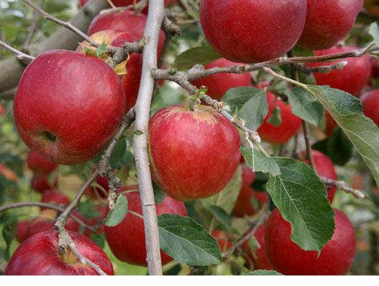 実りの秋。弘前市りんご公園♪_a0136293_13223534.jpg