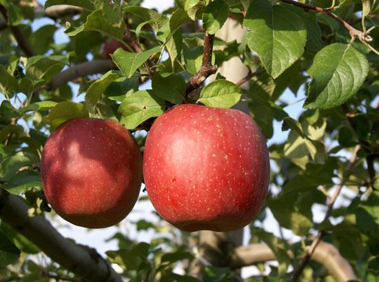 実りの秋。弘前市りんご公園♪_a0136293_13264277.jpg