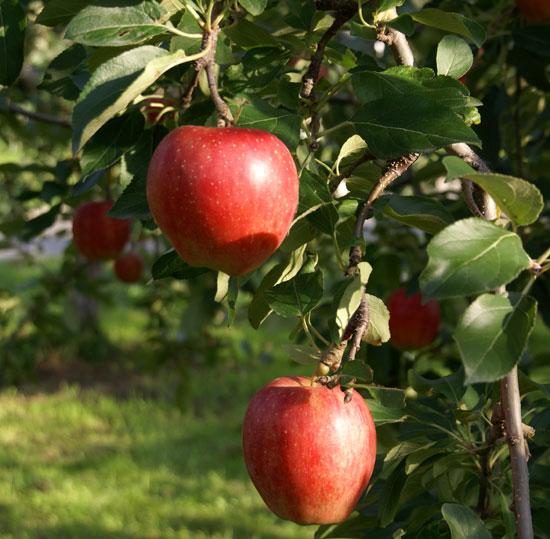 実りの秋。弘前市りんご公園♪_a0136293_13332549.jpg
