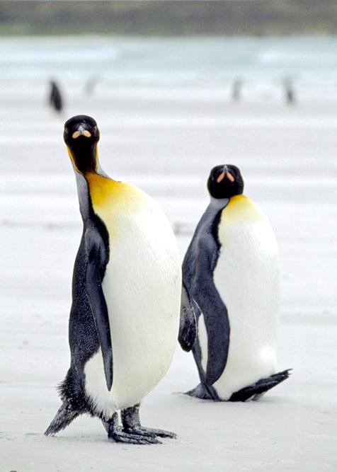عكس هاي زيبا از پنگو ئن ها