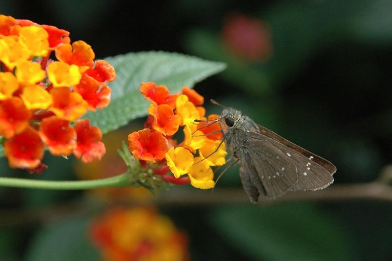 ランタナの花にチャバネセセリ_e0194952_13463483.jpg