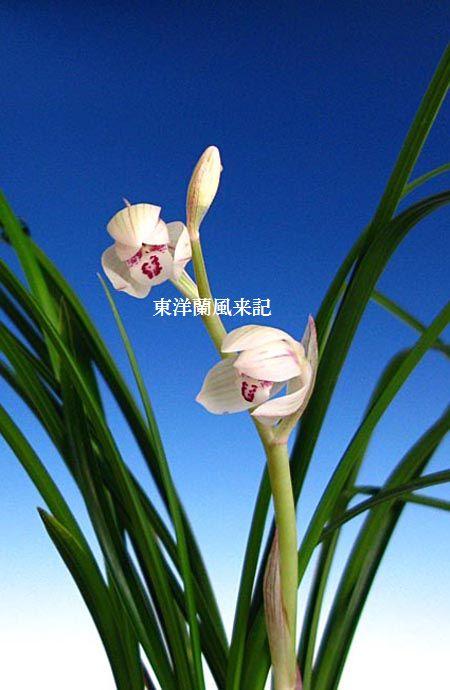 中国奥地蘭「蓮弁しろばな白麗」について       No.718_d0103457_1495781.jpg