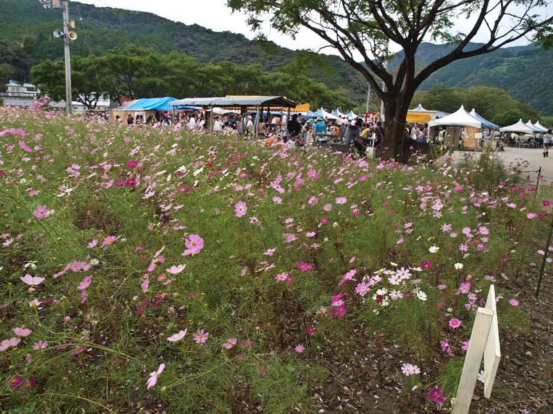 越知町コスモス祭り_d0127876_1755542.jpg