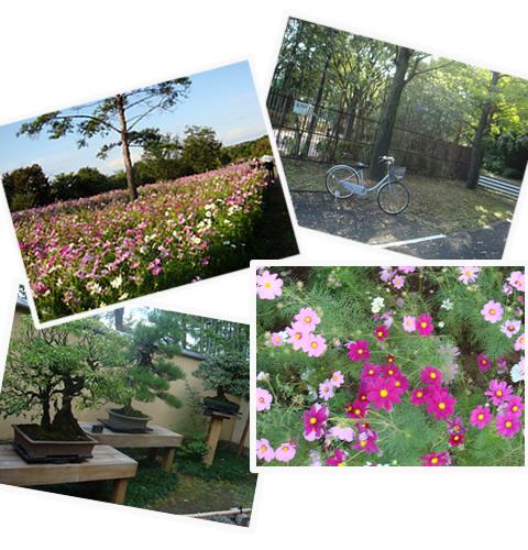 コスモスの丘、国営昭和記念公園_d0132289_1446405.jpg
