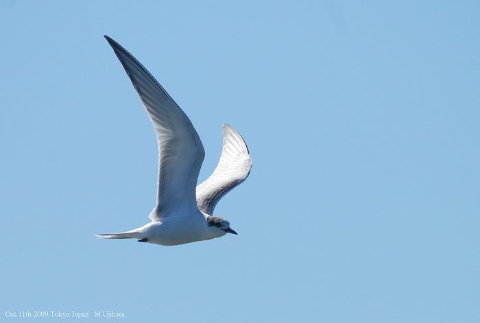 Common Tern_a0044783_1684555.jpg
