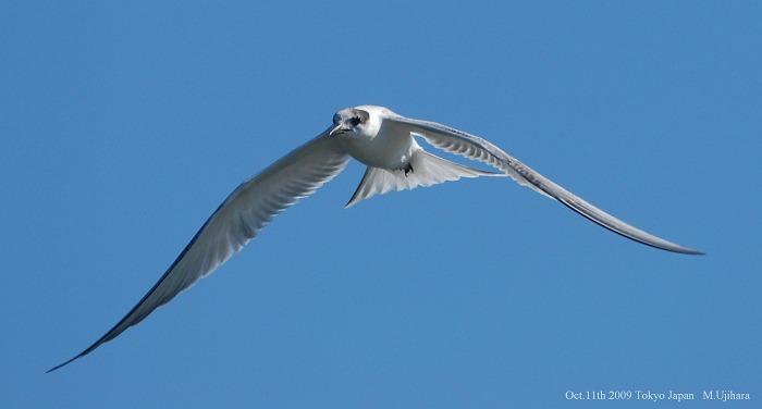 Common Tern_a0044783_1685493.jpg