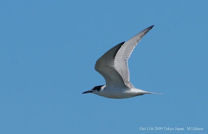 Common Tern_a0044783_169363.jpg
