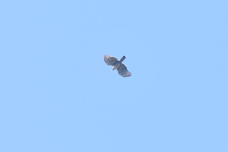 サシバ× クマタカとハチクマでした。_f0053272_8471536.jpg