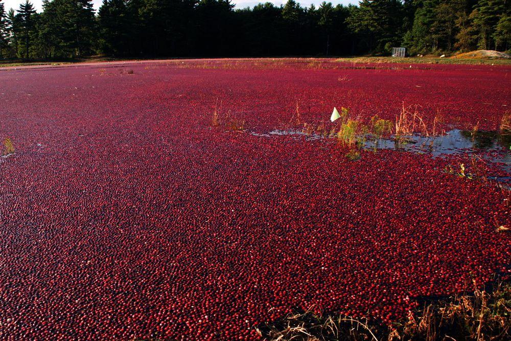Cranberry harvest _c0127403_2303958.jpg