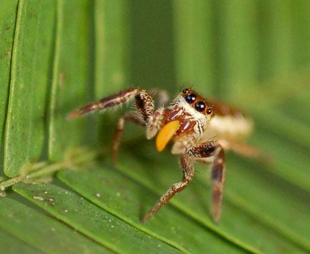 中米で発見された草食性のクモ_b0052564_1515754.jpg