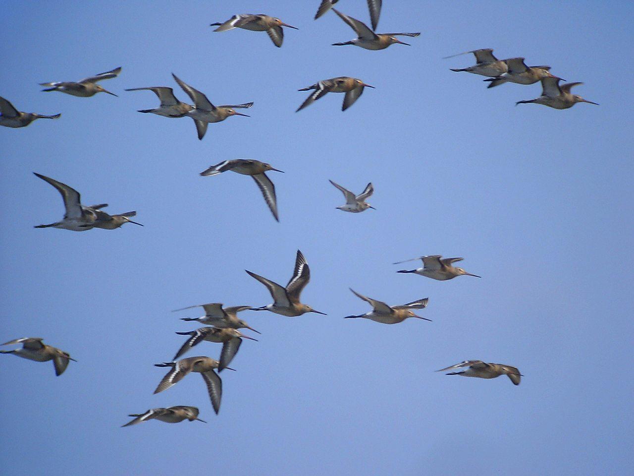オグロシギの群翔_f0024068_1734225.jpg