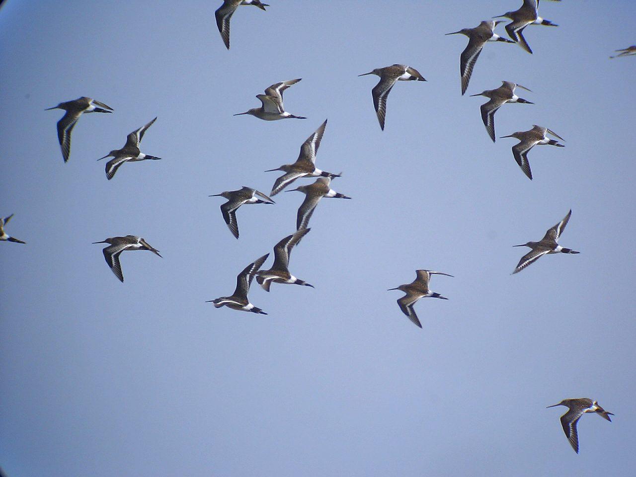 オグロシギの群翔_f0024068_174063.jpg