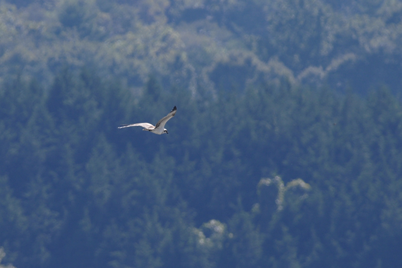 クマタカと他の鳥たち_f0053272_10565393.jpg