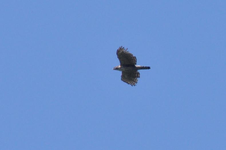 クマタカと他の鳥たち_f0053272_1062916.jpg