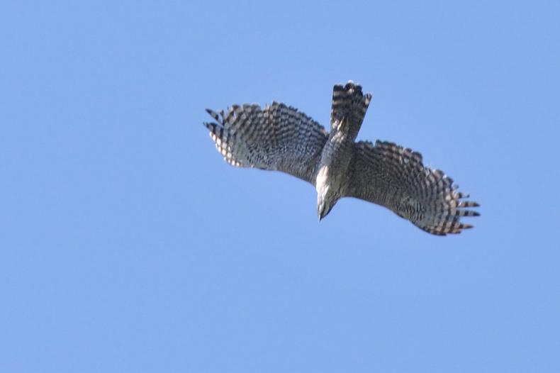 クマタカと他の鳥たち_f0053272_10651.jpg