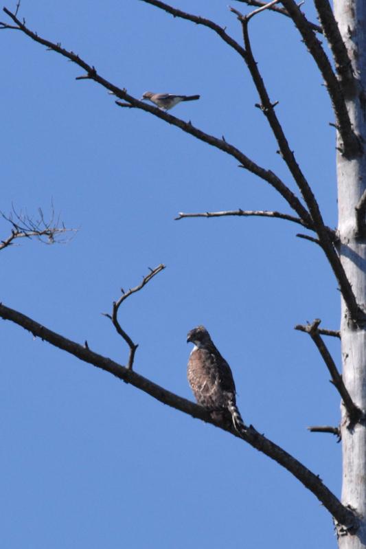 クマタカと他の鳥たち_f0053272_9465134.jpg