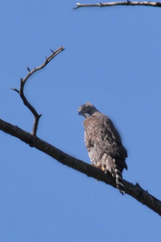クマタカと他の鳥たち_f0053272_9514252.jpg
