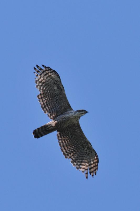 クマタカと他の鳥たち_f0053272_9545537.jpg