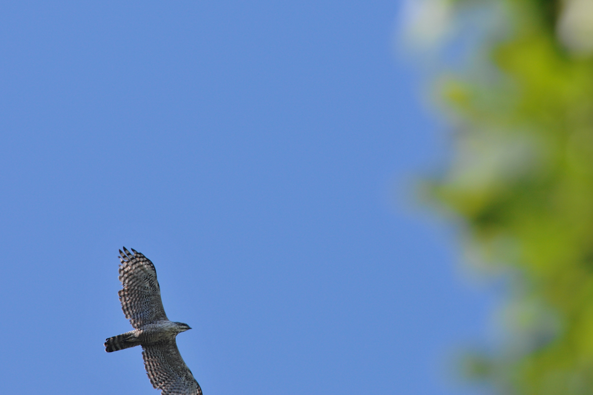 クマタカと他の鳥たち_f0053272_9552735.jpg