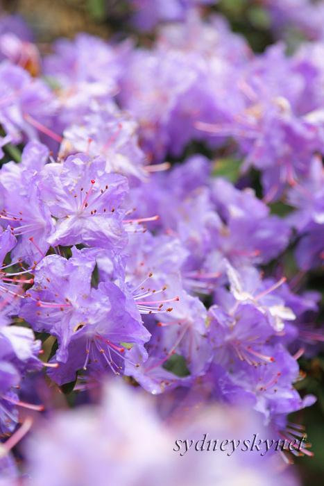 花 乱 舞 09年度版 その3 purple _f0084337_181110100.jpg