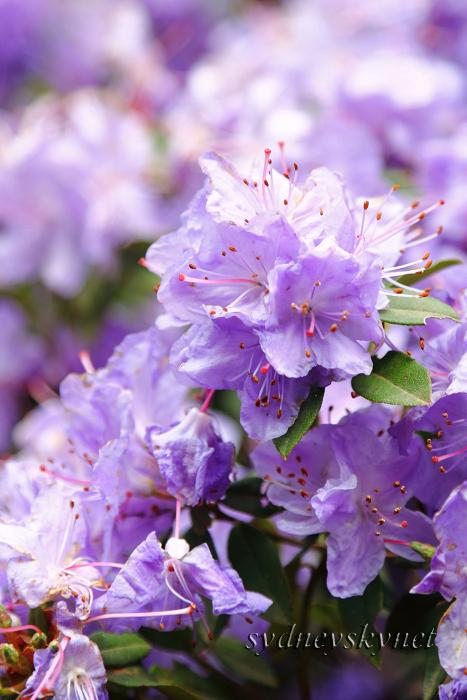 花 乱 舞 09年度版 その3 purple _f0084337_1843919.jpg