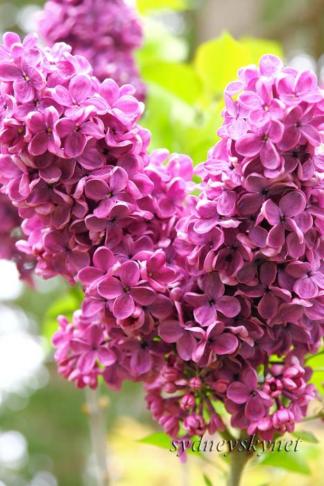 花 乱 舞 09年度版 その3 purple _f0084337_1883221.jpg