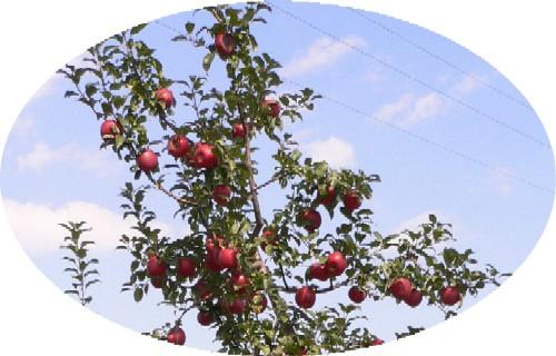【市川農園様のりんごです】_c0197734_11375819.jpg