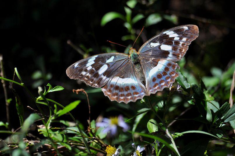10月10日(晴れ)タイトル:和歌山の蝶その2_f0105542_11245568.jpg