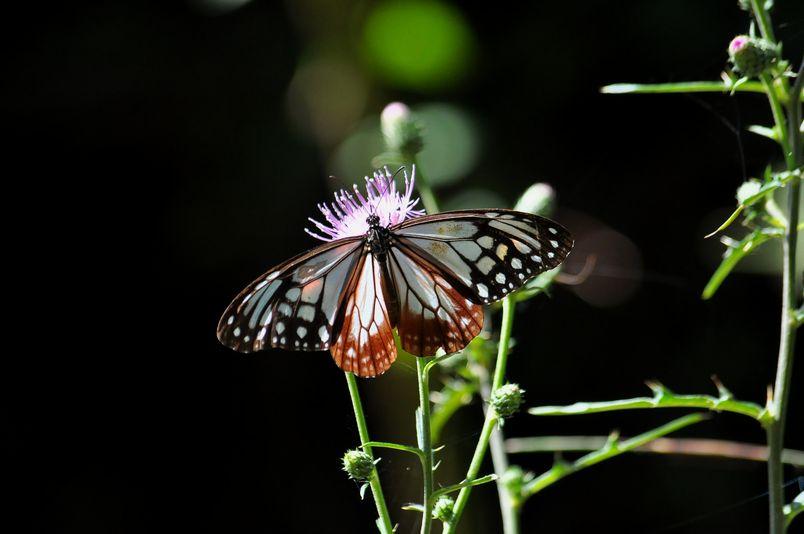 10月10日(晴れ)タイトル:和歌山の蝶その2_f0105542_11422037.jpg