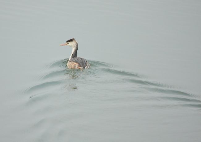 冬の渡り鳥到来、初撮り三種_c0217255_13324674.jpg